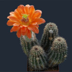 cactus settembre